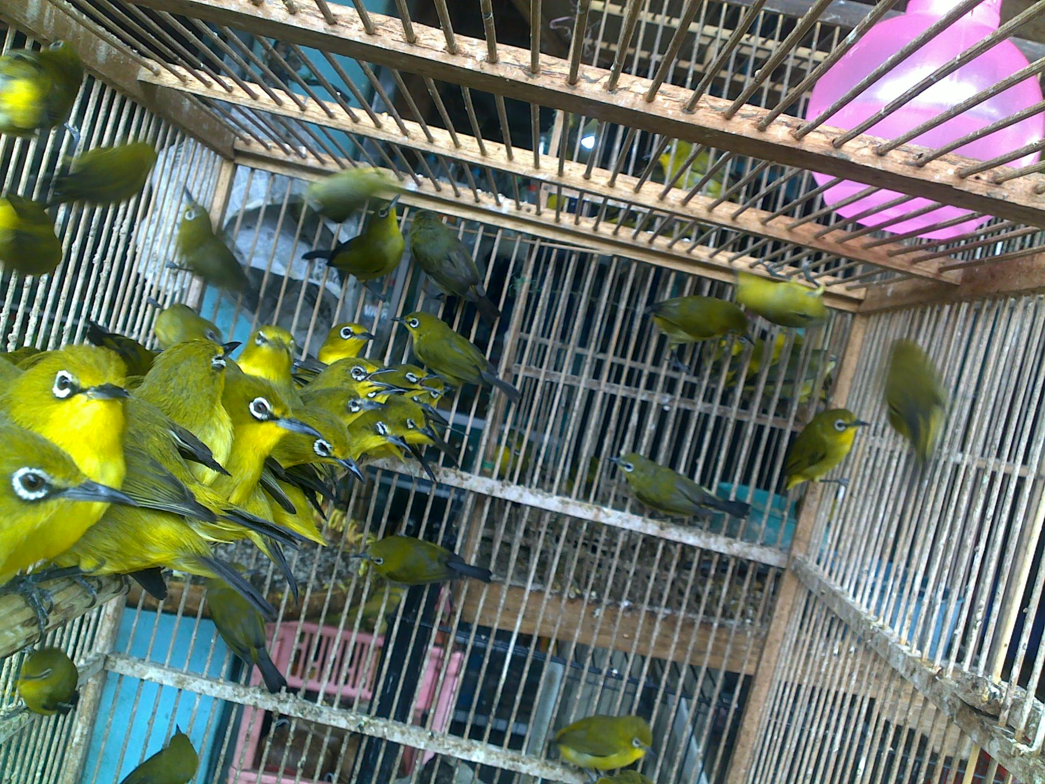 Ngombyok Burung Pleci adalah suatu Hobi saya yang sangat menyenangkan ...